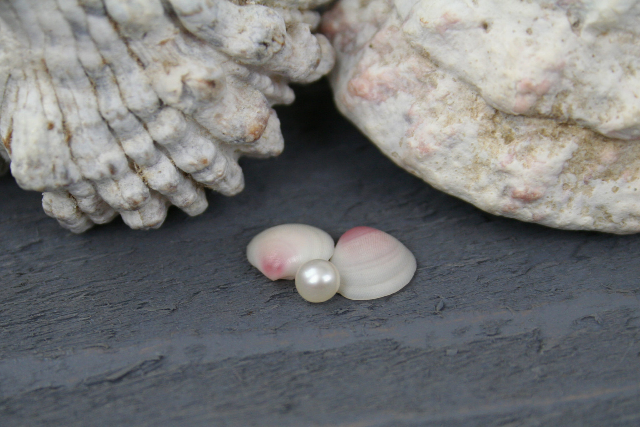 Undrilled Tiny Cultured Pearl with Rose Cup Sea Shells